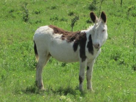 marty the spotted donkey