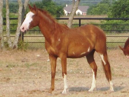 apollo, chestnut paint colt