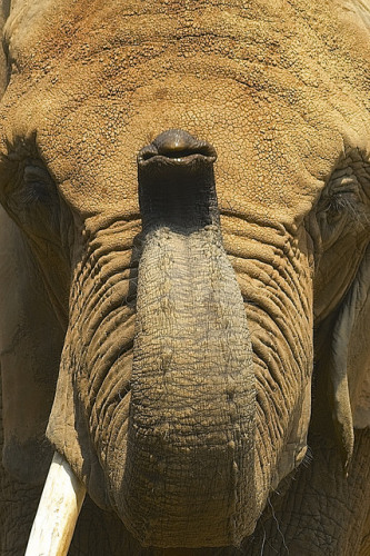 The trunk of a brown elephant