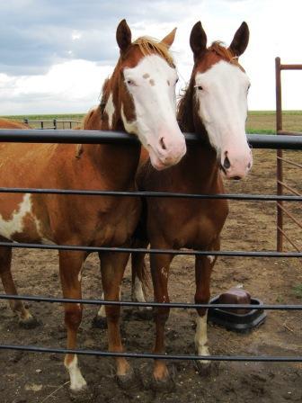 2 muddy paint horses