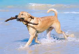 Dog fetching a stick