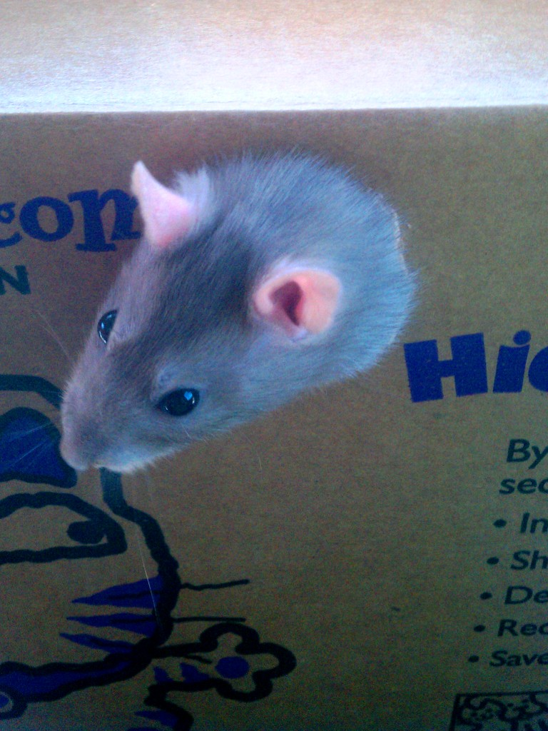 Isabella the rat sticking her head out of a cardboard box