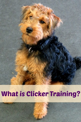 What is clicker training? Read this article to learn all about this positive reinforcement based method for training dogs, horses, and other animals.