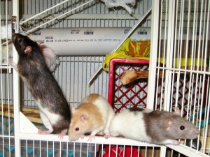 Three of my pet rats trying to escape from their cage