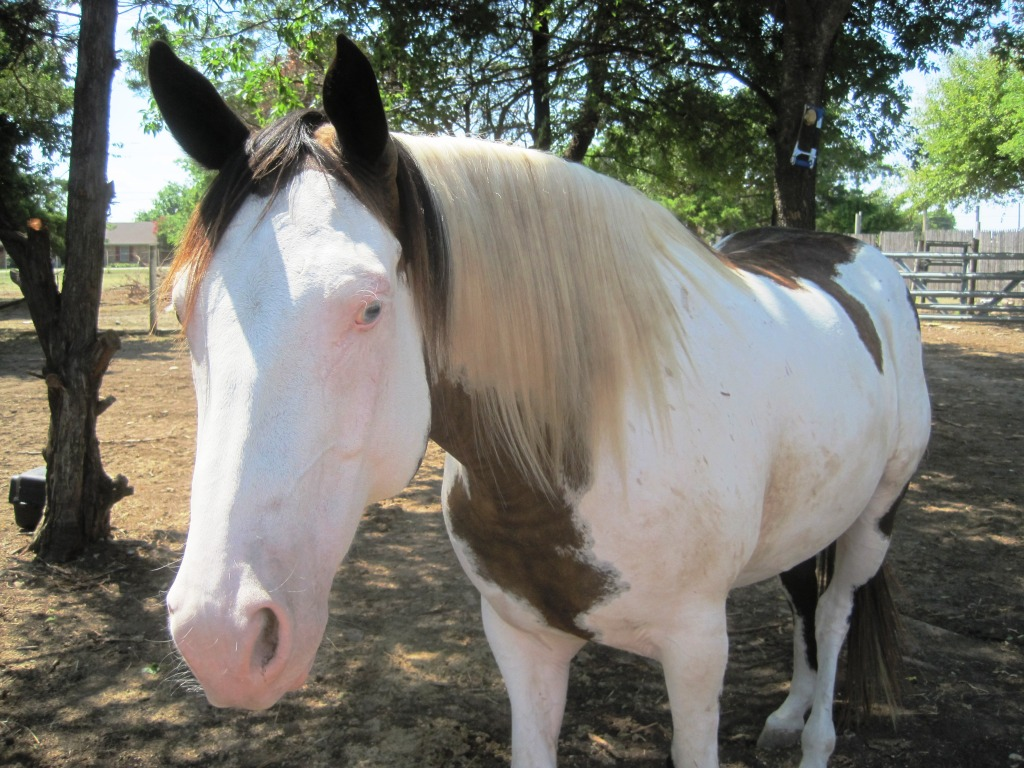Beau Our Big Black And White Paint Horse Wallpaper