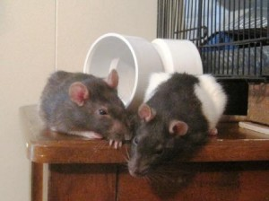 Two cute pet rats!