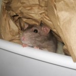 a pet rat in a box with brown paper