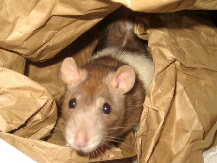 a pet rat hiding in a box filled with brown paper