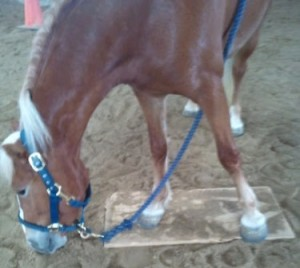 A clicker trained horse works on standing on a mat
