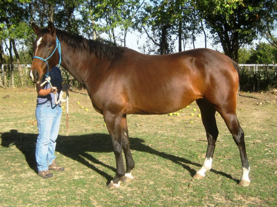 mouse, a young bay mare who is available for adoption
