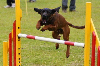 jumping agility dog