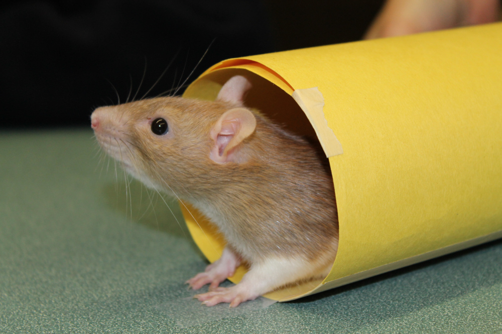 a clicker trained rat performing a trick