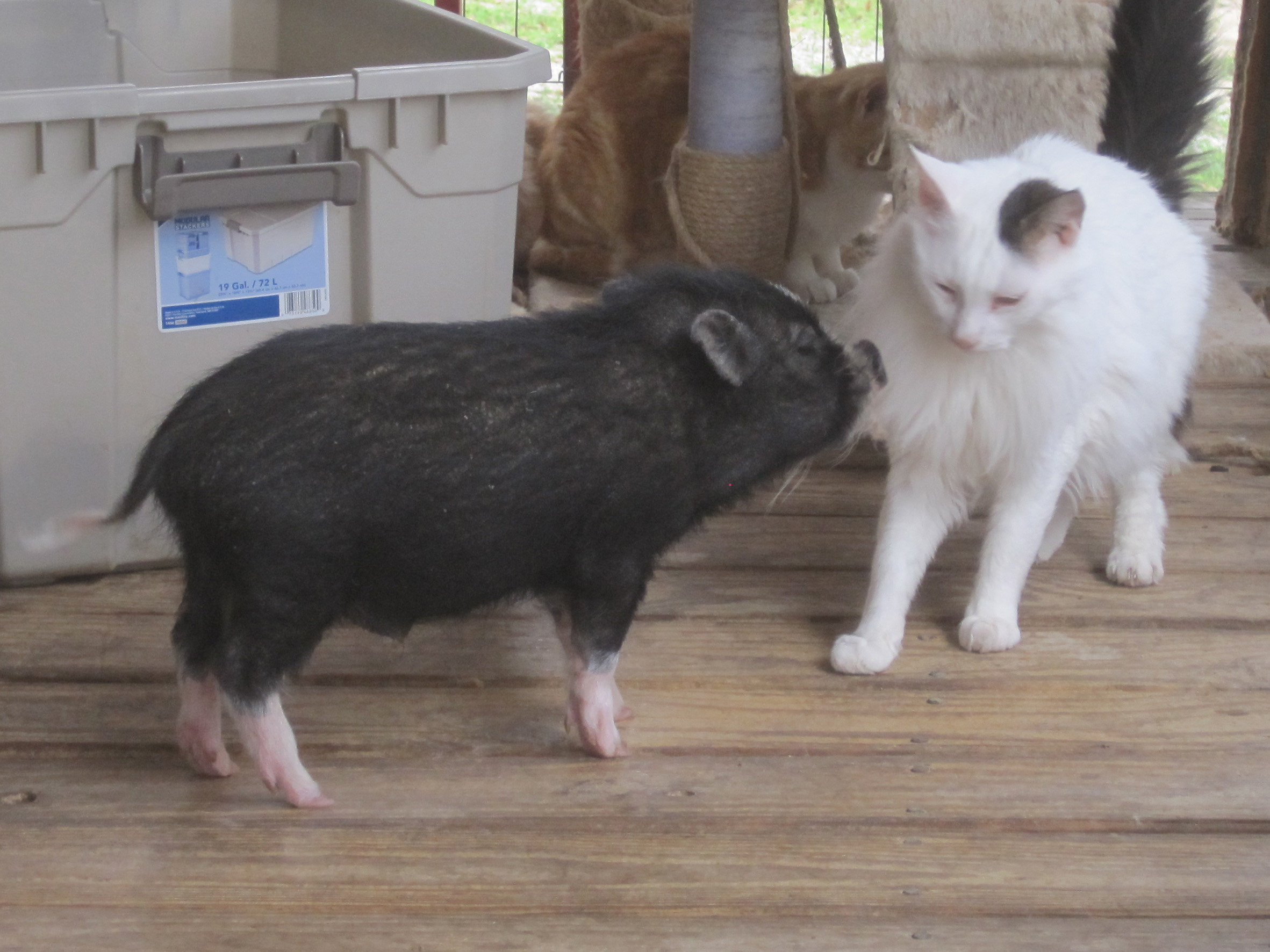 Some smart sanctuary pigs stale cheerios - Pot belly pigs as indoor pets ...