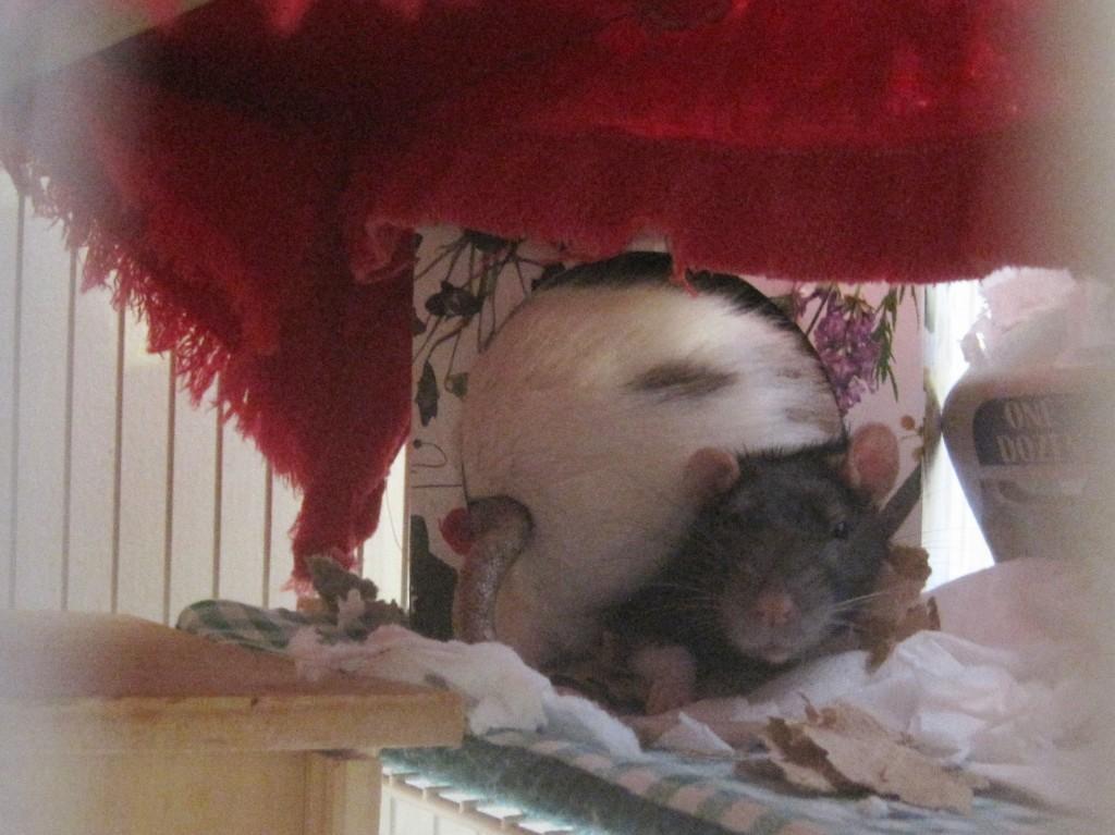 rats in a kleenex box
