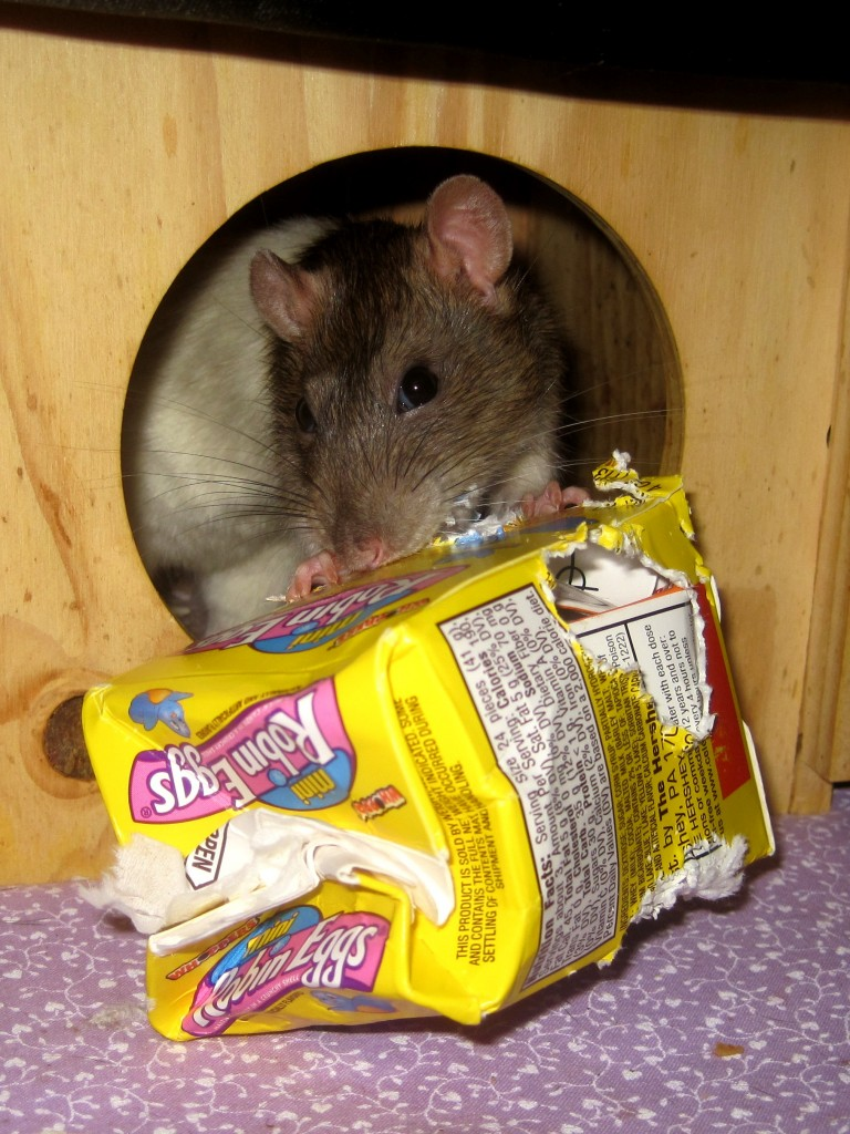Chloe the rat chewing through some boxes to get to her dinner