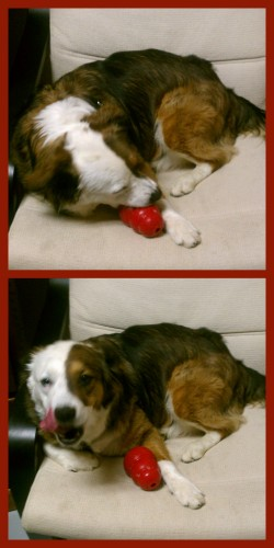 Star loves eating a stack out of her KONG dog toy. It's great enrichment and entertainment for this pup!