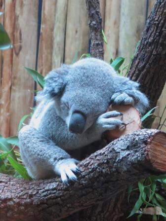 Koala at the Dallas Zoo
