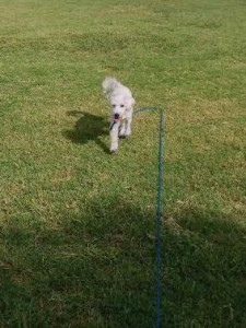 Dexter the schnoodle practices coming when called