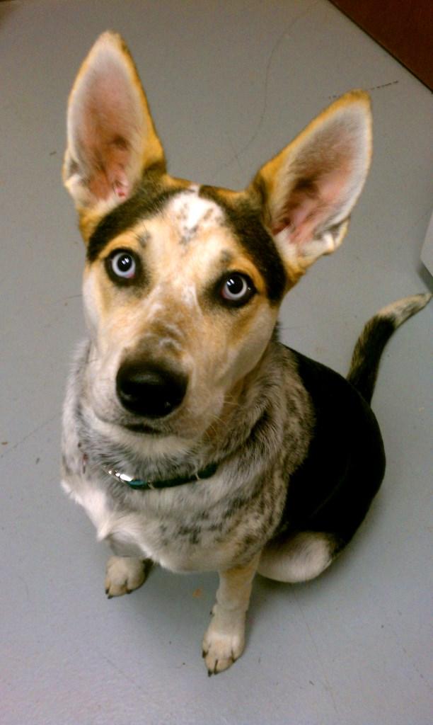 Stud Dog - German Shepard Husky Blue Heeler Mix Stud Dog ...  |Blue Heeler Shepherd Husky Mix