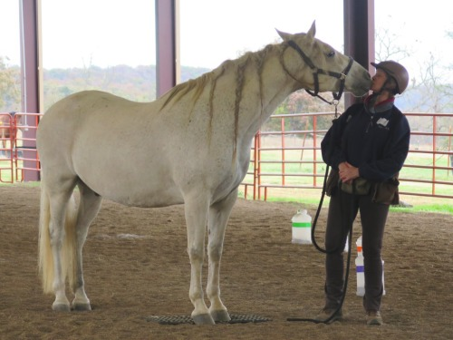 Horse clicker training - Garrow gives a kiss