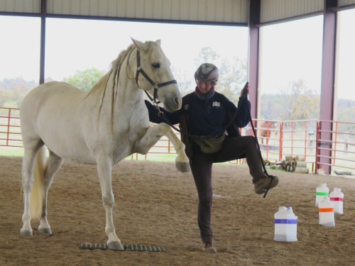 Horse clicker training - Garrow lifts his leg on cue