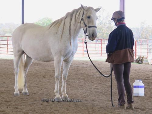 Horse clicker training - Garrow standing on a mat