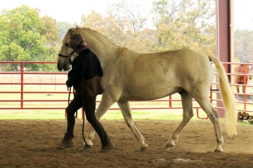 Horse clicker training - Garrow trotting
