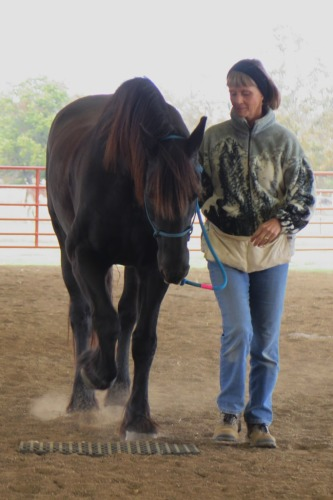 Horse clicker training - Staas walking forward
