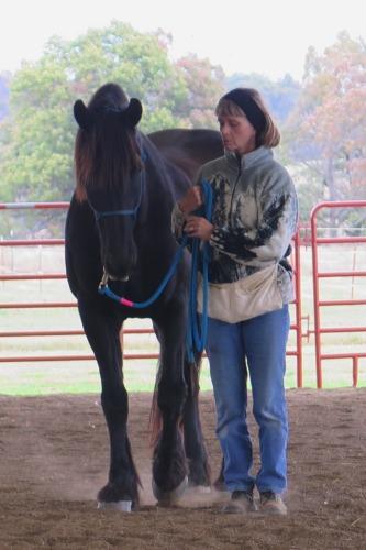 Horse clicker training - Staas preparing to walk forward