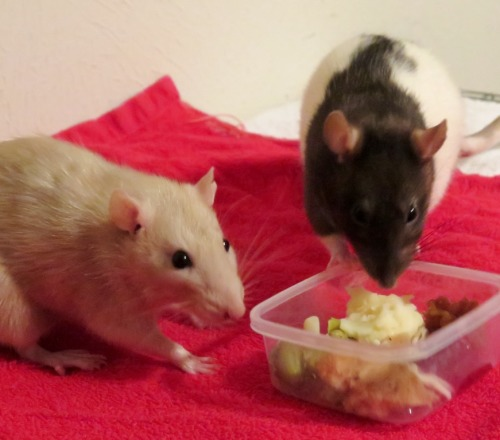 Thanksgiving dinner for my pet rats