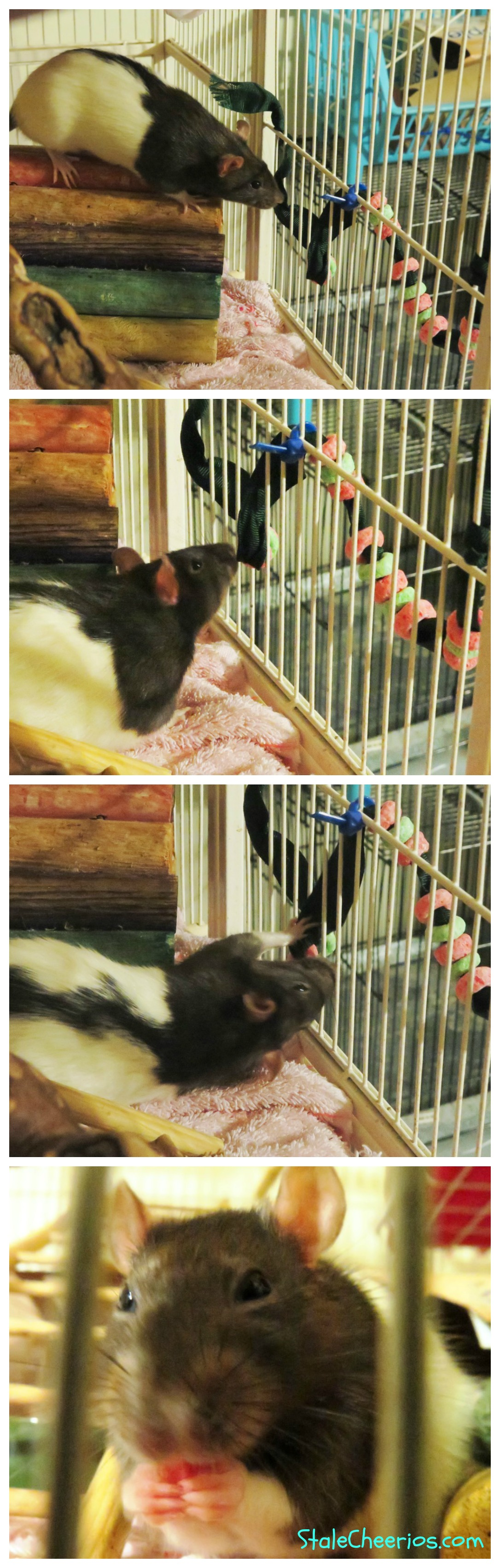 holiday enrichment for Flower the pet rat