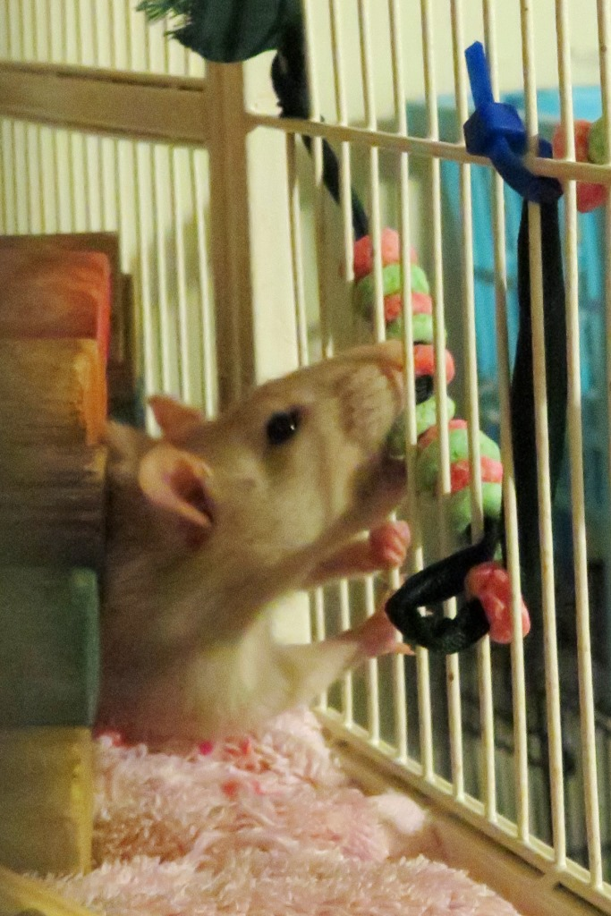 My pet rat Annie works on a holiday enrichment treat -- a garland of red and green Fruit Loops