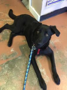 black lab mix puppy works on training