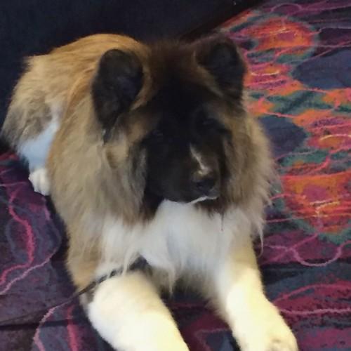 A cute dog at ClickerExpo