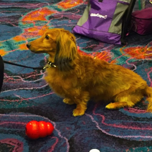 Cute dachshund at ClickerExpo