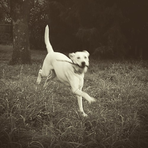 Logan the Labrador retriever dog running in the grass