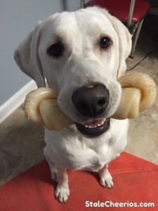Logan the lab loves his Nylabone