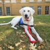 Logan the yellow lab service dog