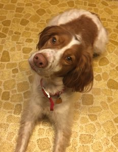Jack, a two year old Brittany spaniel