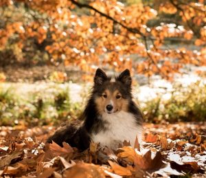 A sheltie dog lying down in the autumn leaves