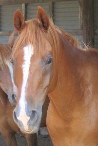 Apollo, a chestnut Arabian horse