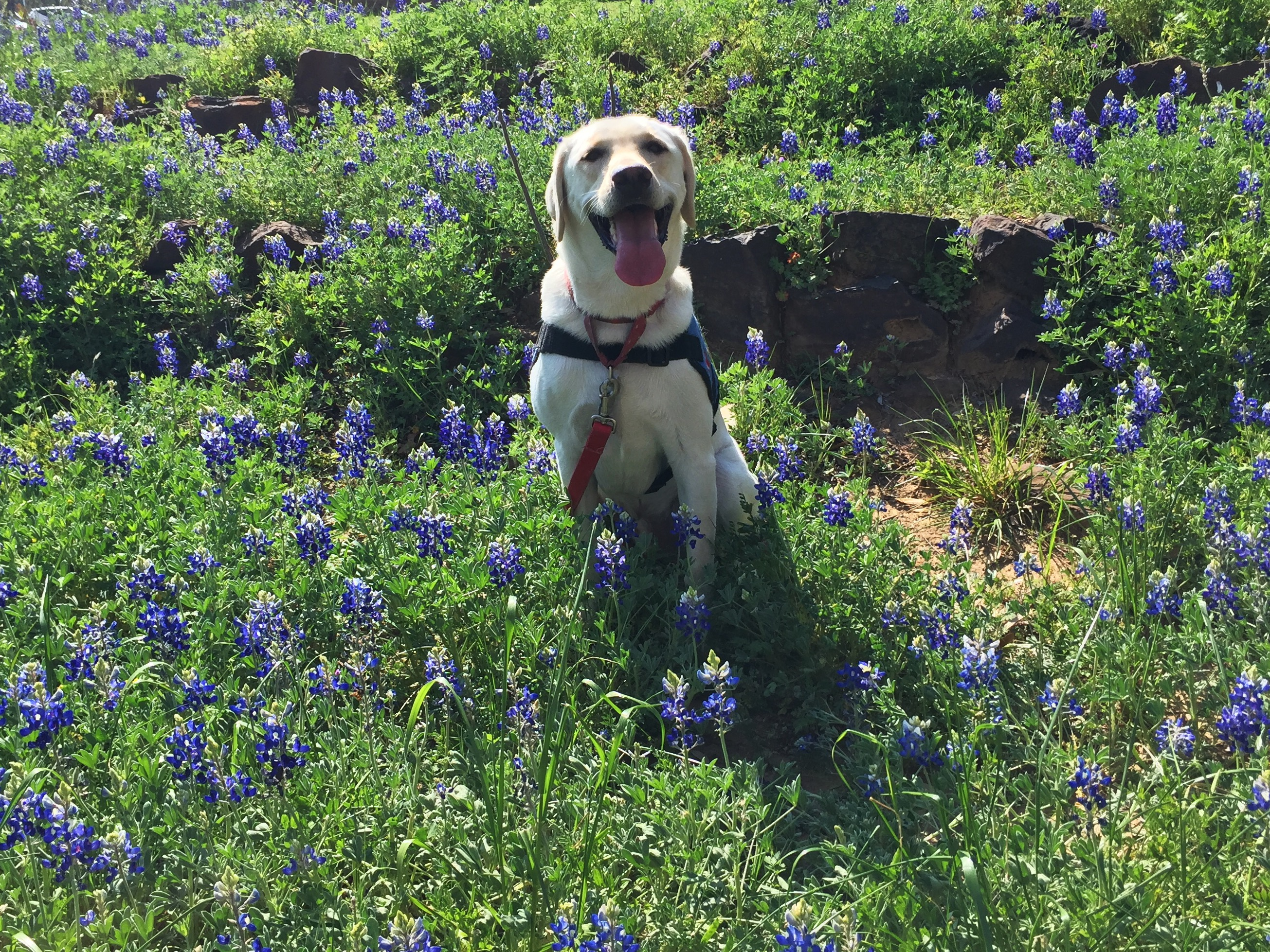 Drill Bit the Labrador retriever, posing in the bluebonnets
