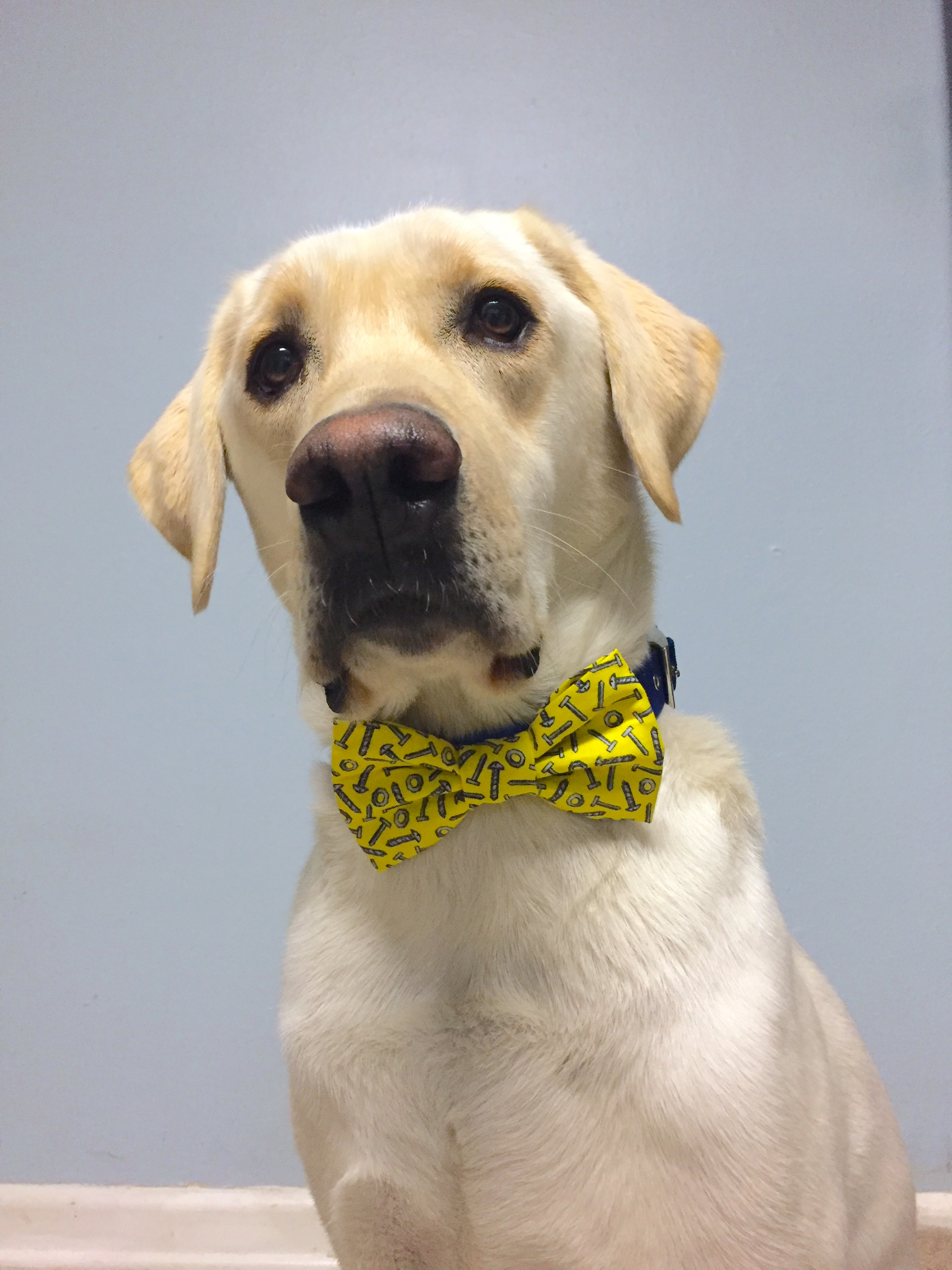 Drill Bit the Labrador retriever, wearing a bowtie