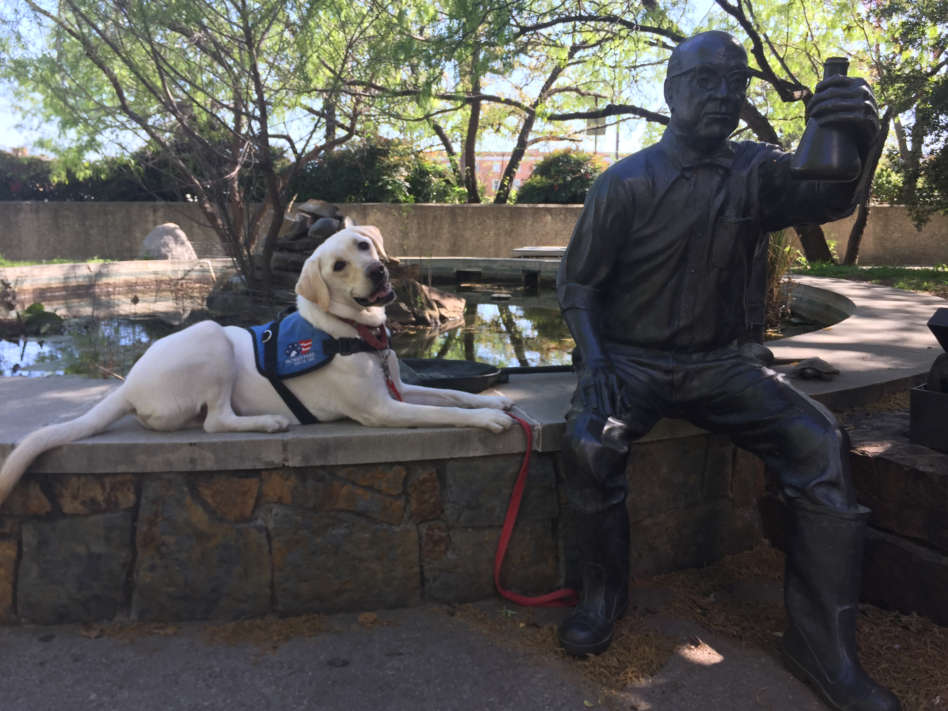 Drill Bit the Labrador retriever, posing on the UNT campus