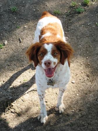ginger at the dog park