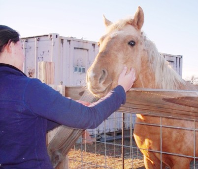 palomino horse getting scratches
